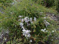 Leptospermum 'Cherish'