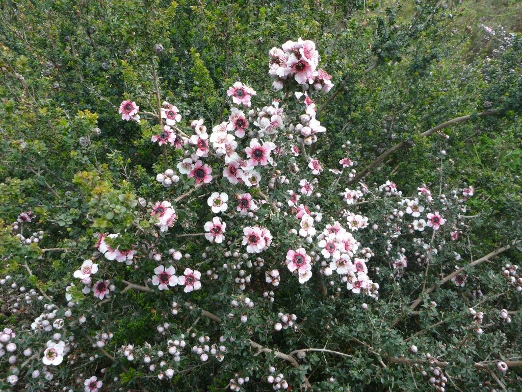 Leptospermum tea tree 'Mesmer Eyes'