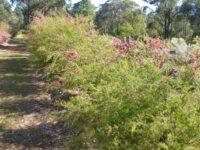 Leptospermum hybrid tea-tree 'Outrageous'