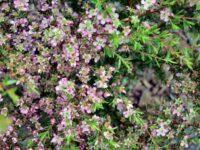 Leptospermum tea tree 'Tickled Pink'