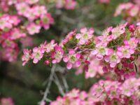 Leptospermum hybrid tea tree 'Tickled Pink'