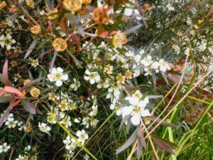 Leptospermum morrisonii tea-tree 'Burgundy'