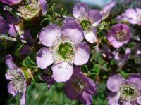 Leptospermum rotundifolium tea tree 'Lavender Queen'