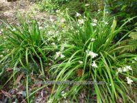 Libertia paniculata - branching grass flag