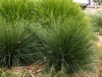 Lomandra confertifolia ssp rubignosa 'Mist'