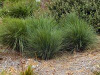 Lomandra confertifolia ssp rubignosa 'Mist' is a great low maintenance landscaping plant