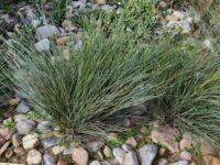 Lomandra confertifolia 'Seascape'
