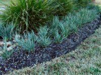 Lomandra filiformis flax lily 'Savanna Blue'