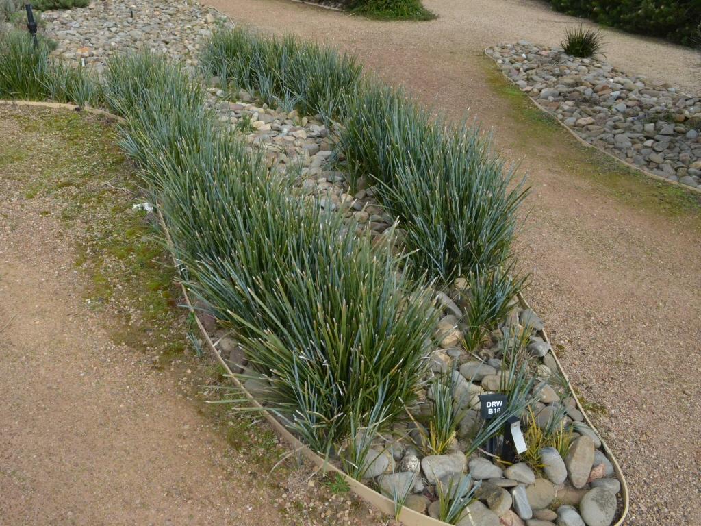 Lomandra Glauca Aussie Blue Grass Lomandra Gardening