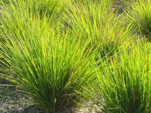 lomandra longifolia  u2018dalliance u2019  u2013 lomandra