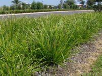 Lomandra longifolia flax-lily 'Katrinus'