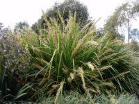 Lomandra longifolia flax-lily 'Katrinus Deluxe'