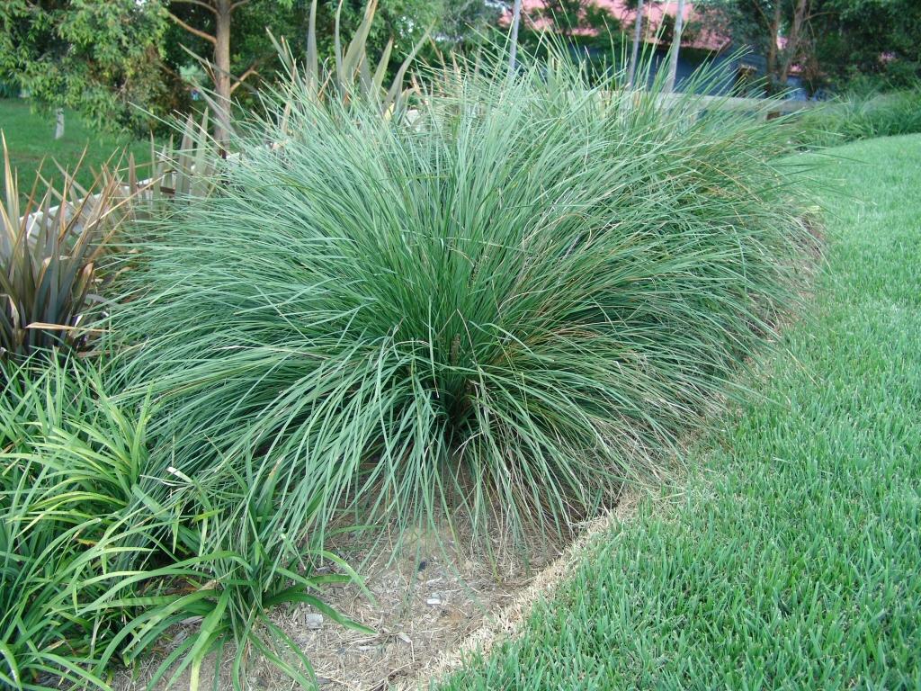 lomandra longifolia  u2018nyalla u2019 mat rush