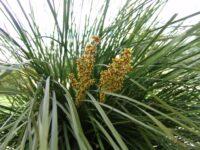 Lomandra longifolia flax-lily 'Nyalla'