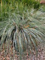 Lomandra flax lily 'Silver Grace'