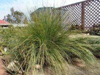 Lomandra confertifolia flax lily 'Wingarra'