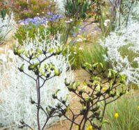 Macropidia fuliginosa black kangaroo paw 'Bush Eclipse'