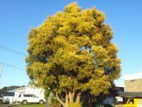 Melaleuca bracteata honey myrtle 'Revolution Gold'