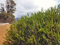 Melaleuca diosmifolia - honey myrtle