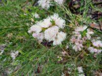 Melaleuca thymifolia honey myrtle 'Pink Lace'