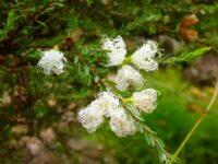 Melaleuca thymifolia honey myrtle 'White Lace'