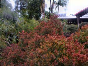 Melaleuca honey myrtle 'Little Red'