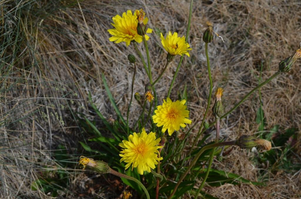 Microseris Lanceolata – Yam Daisy