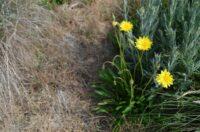 Microseris lanceolata - native yam is a great bush tucker plant