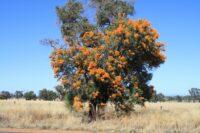 Nuytsia floribunda - West Australian Christmas tree