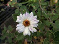 olearia-tomentosa_daisy-bush_mauve-magic