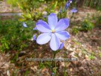 Orthrosanthus multiflorus flag lily