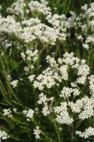 Ozothamnus diosmifolius - rice flower 'Springtime White'