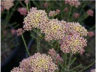 Ozothamnus hybrid rice flower 'Colour Surprise'