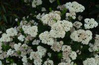 ozothamnus_rice-flower_petite