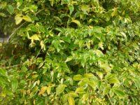 Pandorea jasminoides bower vine 'Charisma'