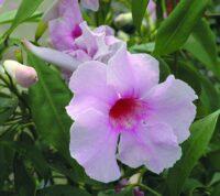 Pandorea jasminoides bower vine 'Flirty Bellz'