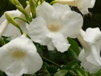 Pandorea jasminoides bower vine 'Lady Di'