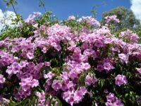 Pandorea jasminoides bower vine 'Southern Belle'