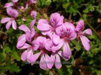 Pelargonium native geranium 'Applause'
