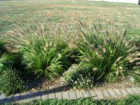 Pennisetum alopecuroides swamp foxtail 'Blacklea'