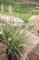Pennisetum alopecuroides swamp foxtail 'Pennstripe'