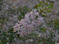 Petrophile biloba - cone flower