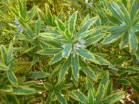 Philotheca myoporoides 'Moon Shadow' - wax flower is a good Australian cut flower
