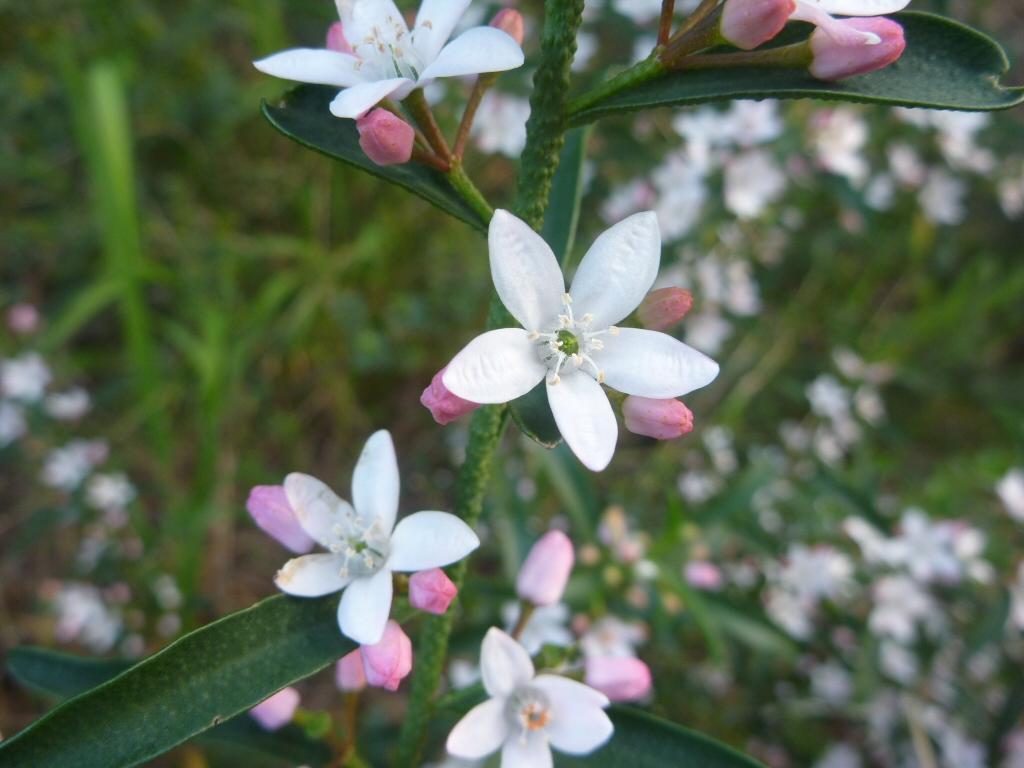 Philotheca myoporoides wax flower 'Profusion'