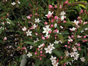 Philotheca myoporoides wax flower 'Winter Rouge'