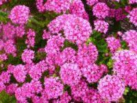 Pimelea ferruginea rice flower 'Bonne Petite'