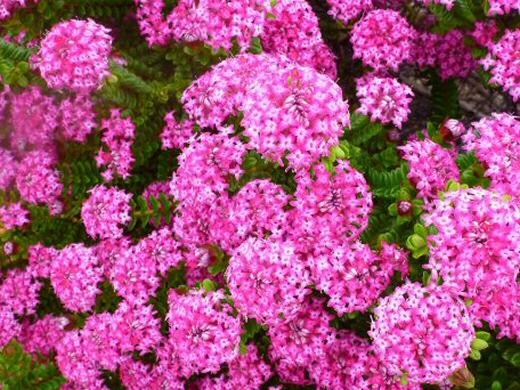 Pimelea ferruginea bonne petite rice flower gardening with angus pimelea ferruginea rice flower bonne petite mightylinksfo