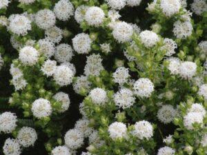 Pimelea ferruginea rice flower 'Snowball'