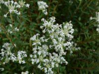 Pimelea humilis - rice flower