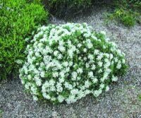 Pimelea linifolia rice flower 'White Jewel'